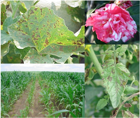 photo collage of plant diseases on crops