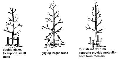Staking young trees provides support and protection while allowing for top movement to improve stem strength. Protective staking keeps mowing equipment and vehicles from damaging young trees. Three or four short stakes are placed 15 inches apart around the tree protruding 30 inches from the ground. The stakes must be easily visible to prevent pedestrian injuries.