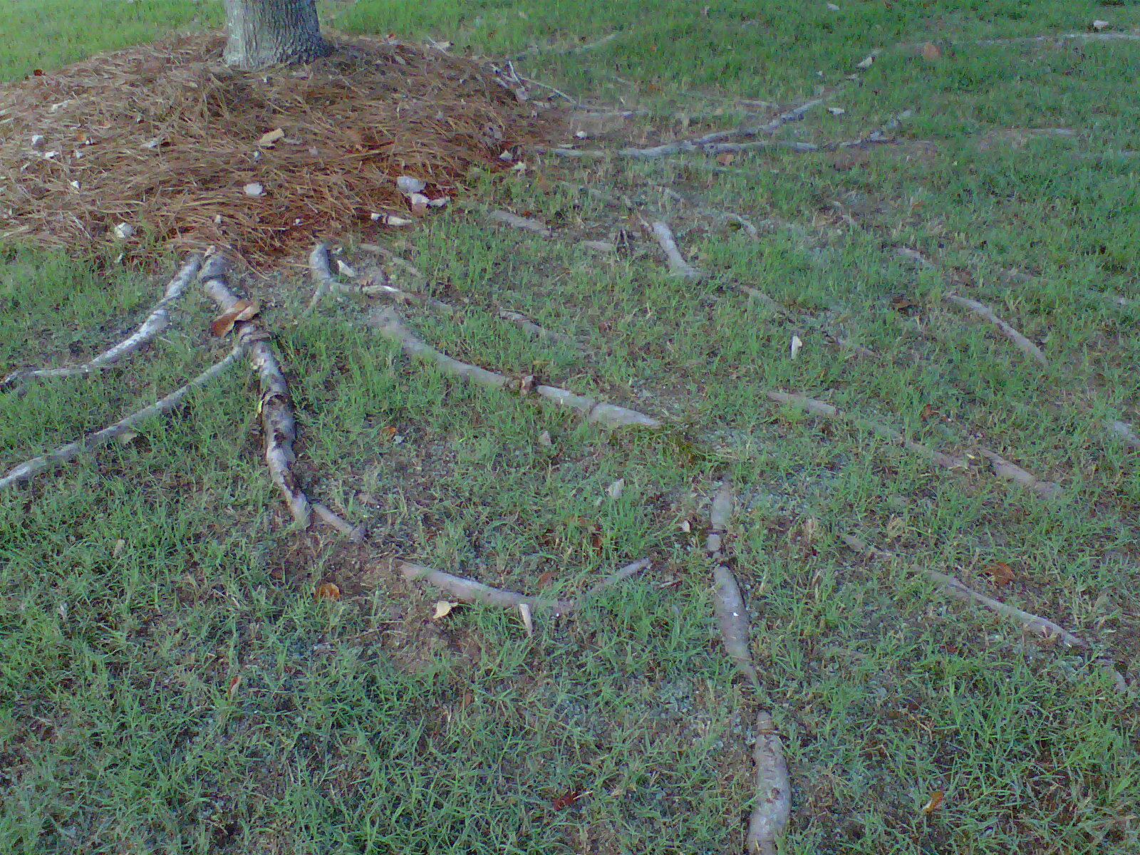 The roots of maples and other trees are shallow