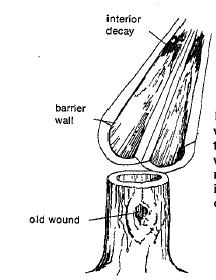 Hollow trees result from wounds. All interior wood present at the time of injury decays, leaving only new wood around the outside. Callus tissue must be prevented from rolling inward into the hollow if the wound is closed.