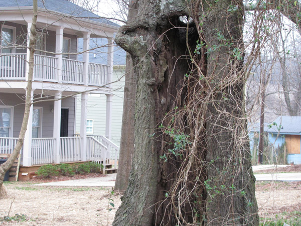 A hollowed-out tree is the result of wounds the tree sustained in the past, possibly as a result of construction activities.