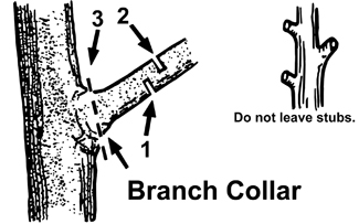 To remove heavy branches without damaging  the tree, a three-cut sequence is recommended. Cut  to the branch collar (swollen area where the branch joins  the main trunk) and avoid leaving a stub.
