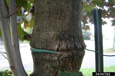 A girdled tree trunk.