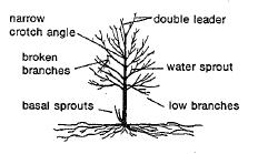 Prune to a central leader. Remove all broken, weak and interfering branches. Prune to maintain the typical form. Remove problem branches as indicated.