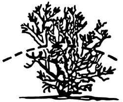 Improper method of pruning crape myrtle