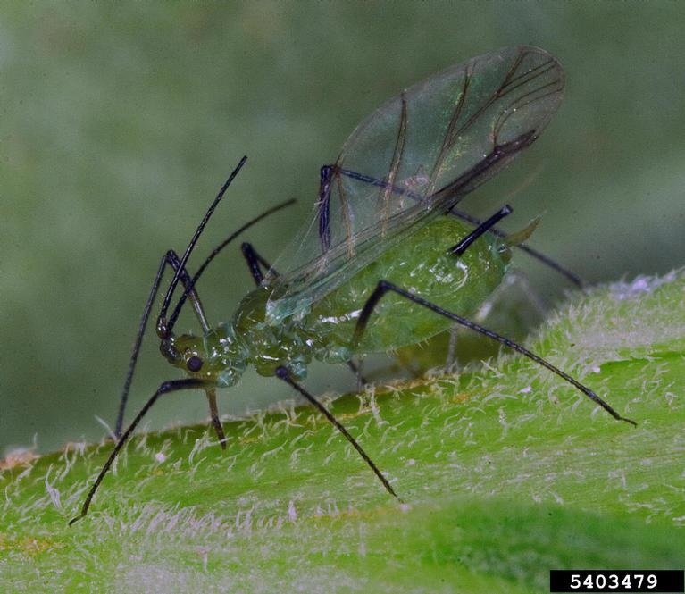 Figure 1. Adult winged aphid.