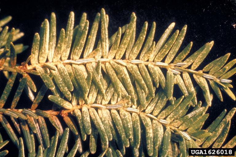 Figure 10. Spider mite damage.