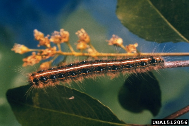 Figure 11. Easter tent caterpillar.