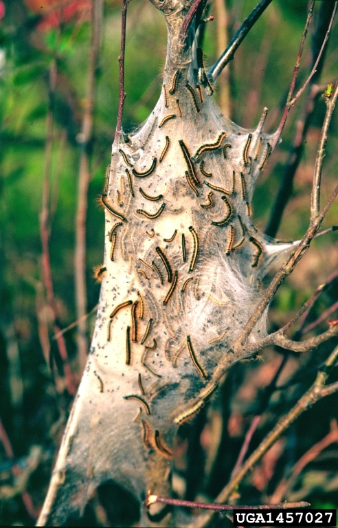 Figure 12. Easter tent caterpillar nest on black cherry tree.