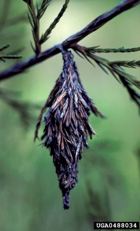 Figure 15. Bagworm.