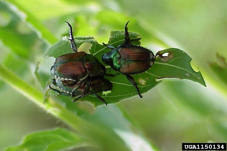 Figure 16. Adult Japanese beetle.