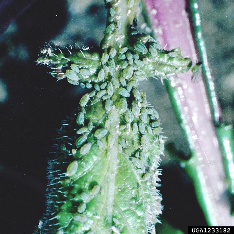 Figure 2. Aphid infestation on a rose.