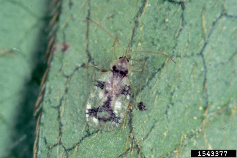 Figure 5. Adult lace bug on azalea.