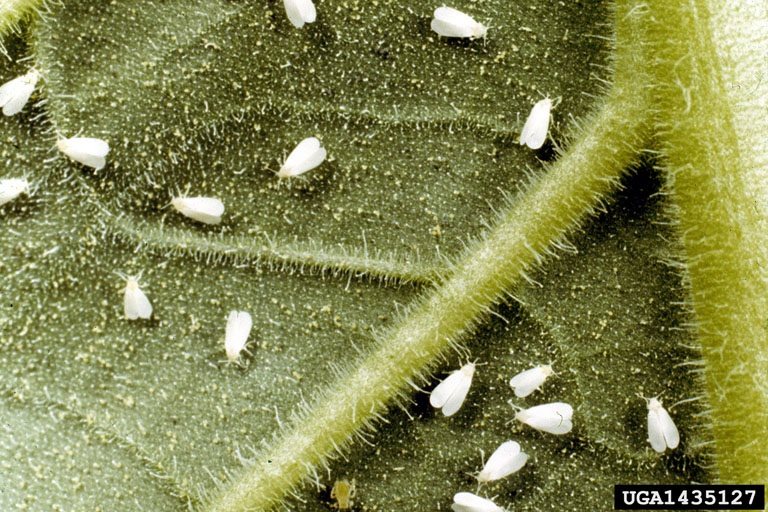 Figure 8. Whitefly infestation.