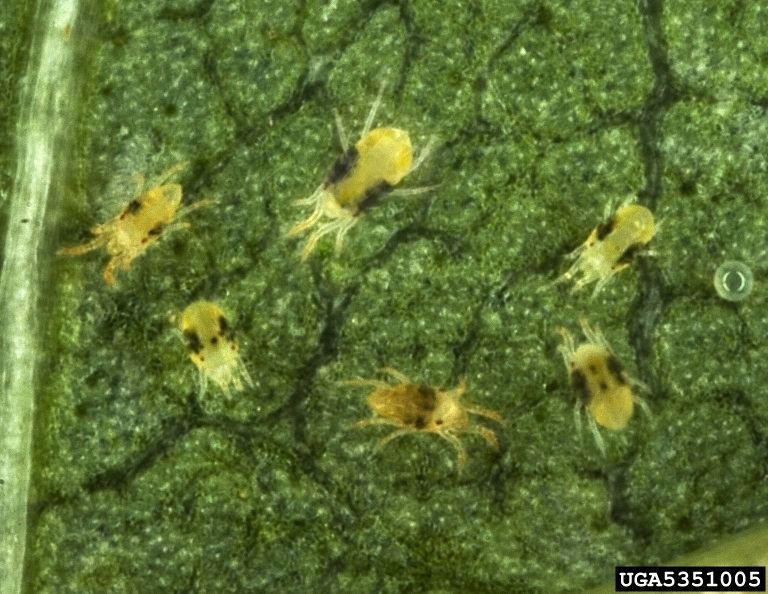 Figure 9. Adult spider mites.