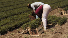 Figure 4. Pulling and packing field-grown transplants 