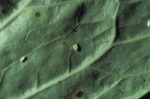 Figure 8. The sweetpotato whitefly can be an especially 