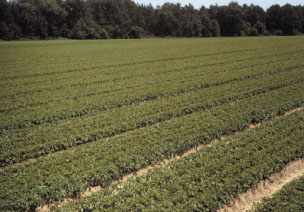 Figure 10. A weed-free transplant field resulting 