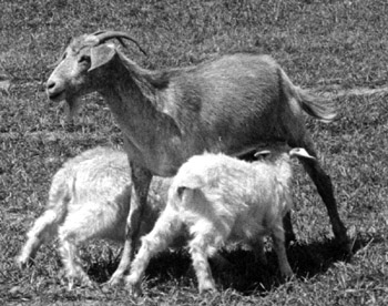 Figure 3. Money-Makers: Yearling with a big set of twins.