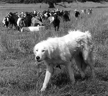 Figure 4. Livestock guarding dogs decrease predation.