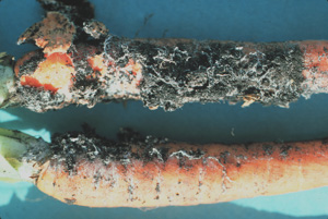 Figure 5. White mycelium of Schlerotium rolfsii on carrots.
