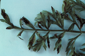 Figure 7. Foliar symptoms caused by Xanthomonas carota.