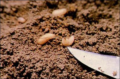 whitefringed beetle larvae