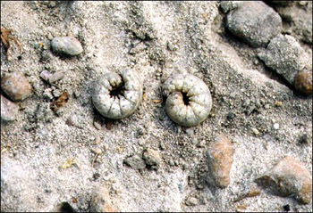 Figure 6. Cutworms