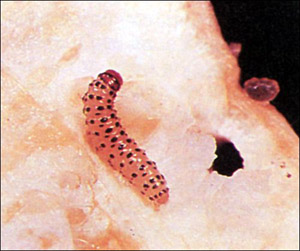 Pickleworm, young larva