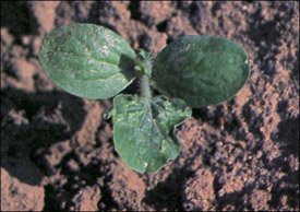 Thrips damage, seedling