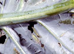 DBM mature larva
