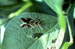 Adult cabbage looper