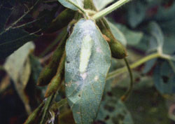 Cabbage looper pupa