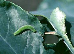 Imported cabbage worm larva