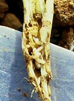 Seedcorn maggots