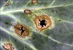 Alternaria leafspot