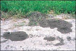 Native fire ant mound
