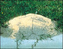 Granules on mound
