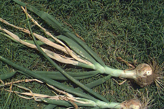 photo of onion bulb with stalk