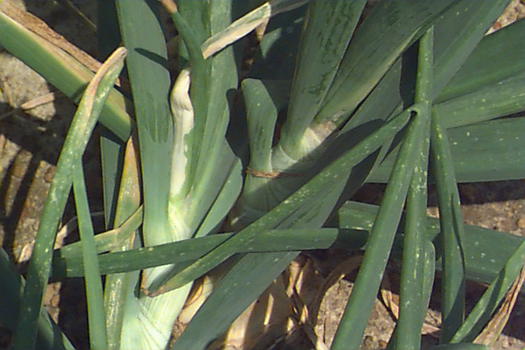Close up photo of bleached center leaves caused by the center rot pathogen Pantoea ananatis