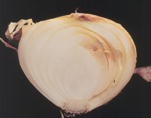 Photo of a cross section of an onion bulb that is decaying