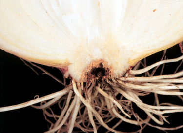 Photo of onion basal plate infected with Fusarium basal rot
