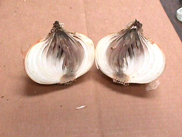 Photo of onion bulb cut in half to show discoloration symptoms of Botrytis