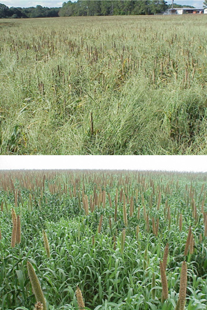 Figure 2. Poor control of weeds, particularly crabgrass (top) and Texas panicum (bottom) will cause severe yield loss and increased chinch bug infestations.