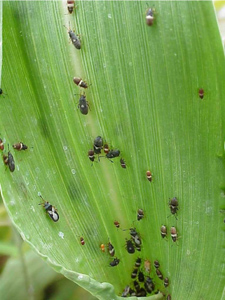 Figure 3. Chinch bug nymphs and adults. This is the predominant insect pest of pearl millet and must be controlled to prevent crop failures.