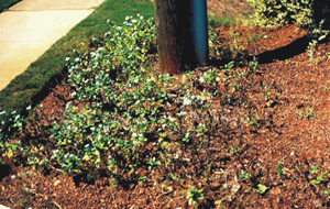 A bed of vinca 