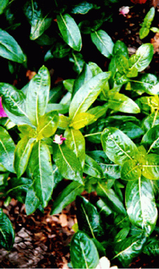 Moderate Over-fertilization 