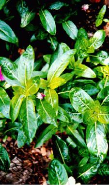 Moderate Over-fertilization   of Vinca
