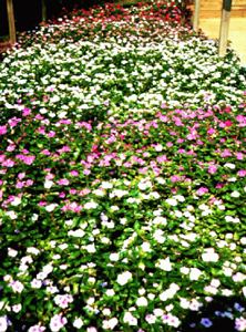 Vinca bed in a   lightly shaded Quonset house in late summer