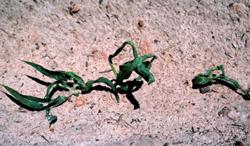 Figure 3. Lasso herbicide damage.